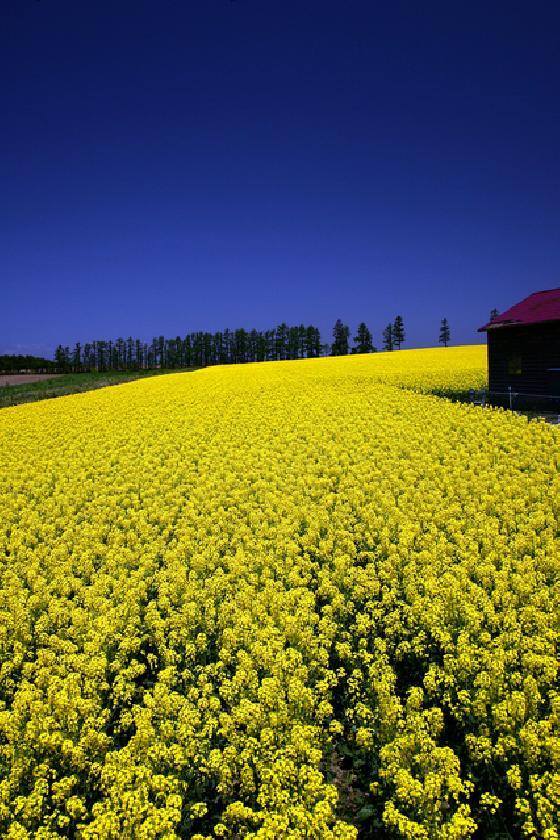 北海道の菜の花
