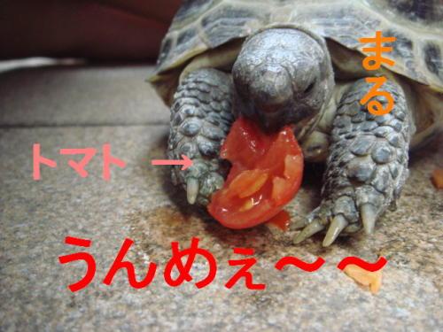トマトうんめぇ~~ まる