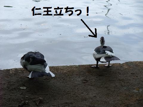 龍譚池 (りゅうたんいけ) 池際でたそがれるカモ? アヒル?