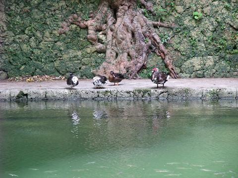 龍譚池 (りゅうたんいけ) 対岸のカモ? アヒル?