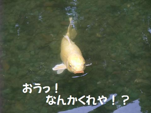 龍譚池 (りゅうたんいけ) 絡んでくる鯉