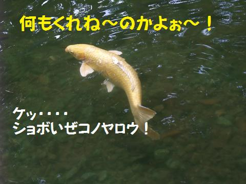 龍譚池 (りゅうたんいけ) 退散する鯉