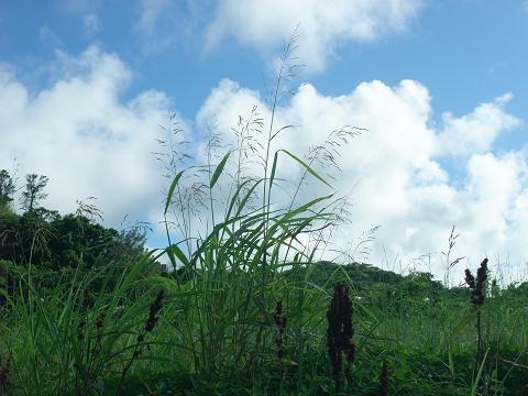 空を目指す雑草 (中城村)