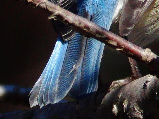 ルリビタキ:尾羽根の一部を元画像から切り出したものです