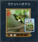 ラケットハチドリ