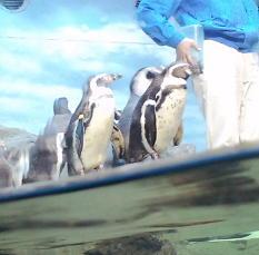 珍しいペンギンショー