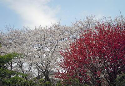 お花見2011
