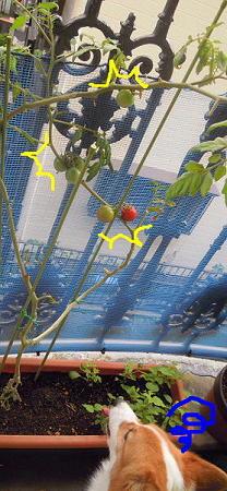 賢いトマト