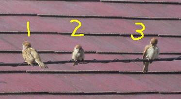 スズメが3羽
