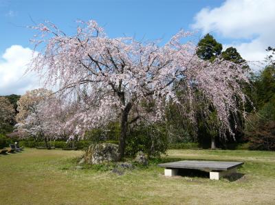 斐川公園のしだれ桜