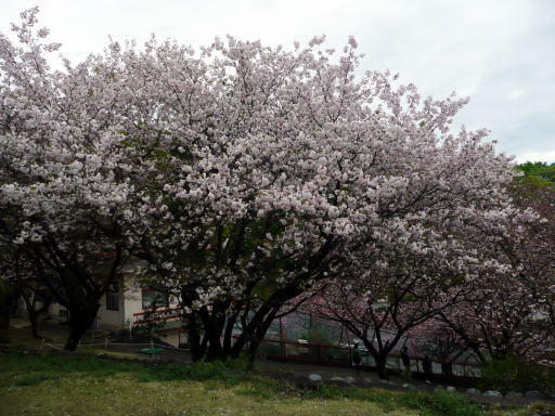 yaezakura