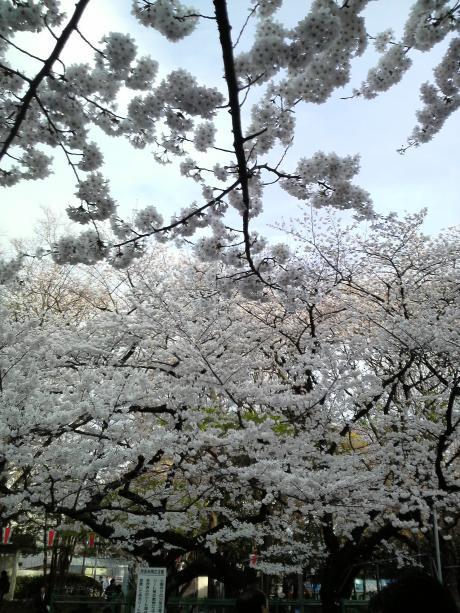 桜が満開3