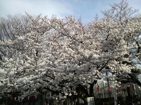 桜が満開2