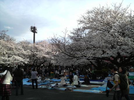 桜が満開1