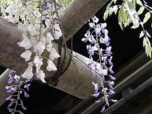 bisyamonfuji_0429_2.jpg