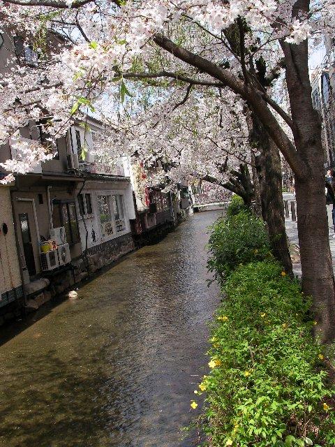 高瀬川桜まつり002