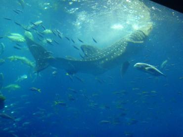 ブログ用沖縄2水族館ジンベイ鮫