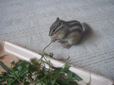 ブログ用ココはシロツメ草が大好き