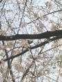 100322熊本城の桜2