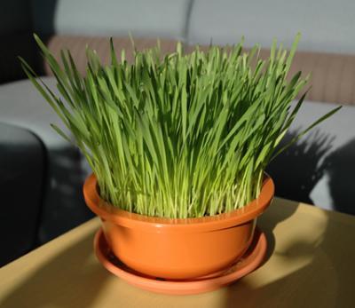成長した猫草
