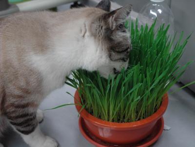 猫草を夢中で食べるわいん