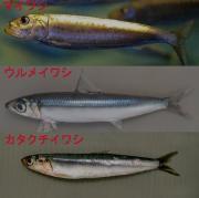 いわし三種.jpg