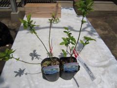一緒に植えるブルーベリー