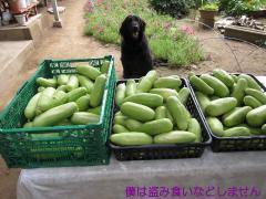 2010 08 08 シロウリ40Kg.JPG