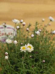2011 01 31 花かんざし.jpg