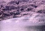モンタージュ:桜-02P 92t