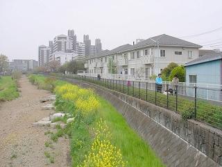菜の花真っ盛りの空堀川河川敷