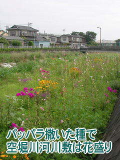パッパラ撒いた種で空堀川河川敷は花盛り