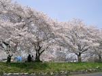 2006年桜