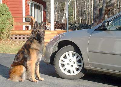 Belgian Shephrd Dog Tervueren