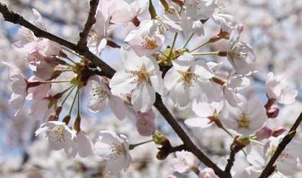 2010APR桜