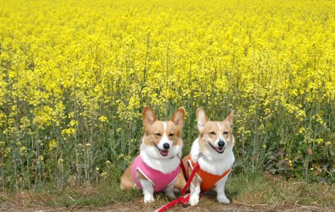 すご?い♪一面の黄色い絨毯♪