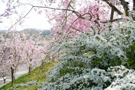 見事な桜と雪柳