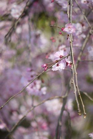 今年は長い間、桜が楽しめました♪