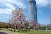 マギーパパさんを待ってくれてた綺麗な枝垂桜 ^-^