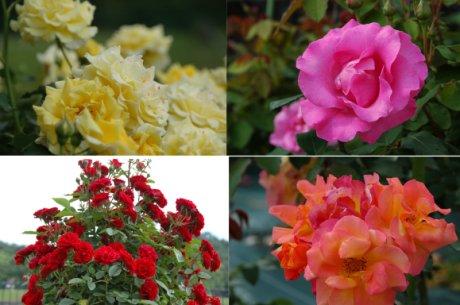 薔薇、ほんの1部だけど・・・
