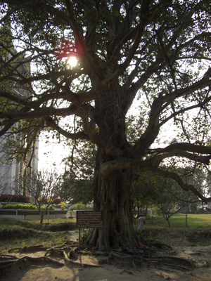 処刑される人がこの木につるされてその叫び声がまるでラウドスピーカーのようだったと書いてあった。