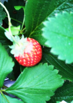 strawberry_002.jpg