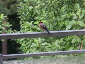 ドイツ式小鳥