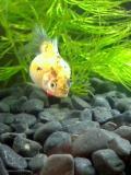 金魚001