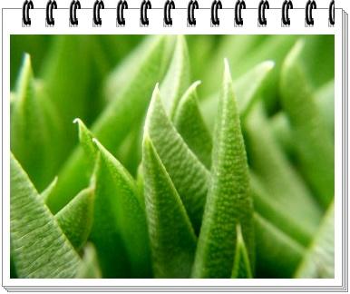 テルナミの葉
