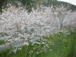 沿線の桜と菜の花