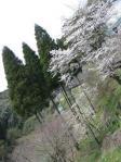 御禁止側沿いの桜