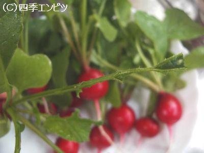 ラディッシュ ヨトウムシに食べられた葉