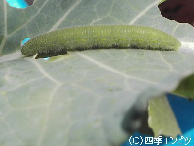 ブロッコリー 害虫7