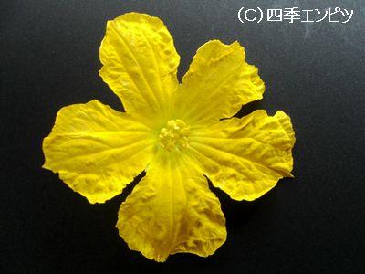 ヘチマの雄花